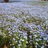 花壇とネモフィラの花